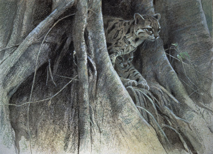 Margay Cat Drawing Title Two Margay Cats